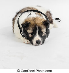 Puppy dog with headphones listening to music - Puppy dog...