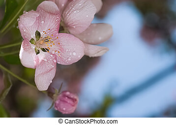 apple flowers - Through rose-colored flowers and leaves of...