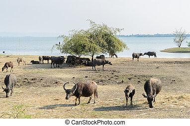 agua, búfalo, pasto, en, field, ,