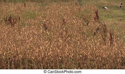 harvest ripe dry peas