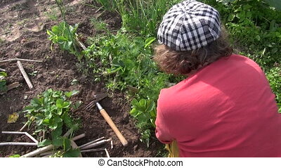 woman weed strawberry - woman with hat and glove work in...
