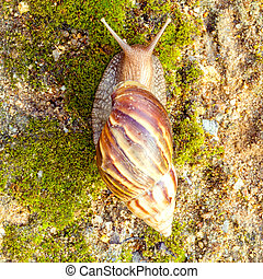 A Garden Snail Cornu aspersum is a species of land snail...