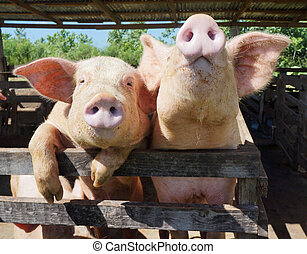 Two cute, funny and curious pigs on a farm in the Dominican...