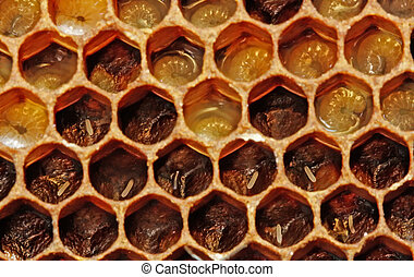 Life of insects Eggs and larvae of bees - In honeycombs...