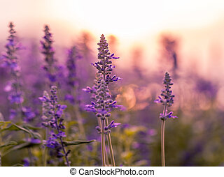 Violet lavender field background on sunset