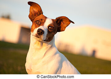 Jack Russell Terrier in the Park Some Afternoon.