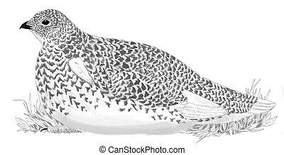 White-tailed Ptarmigan - female Lagopus leucura Pencil...