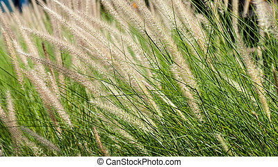 Flowering grass during on sunset. Closeup shot