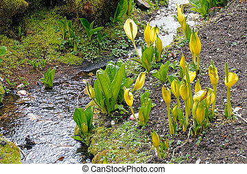 Yellow Skunk Cabbage (Lysichiton americanus)