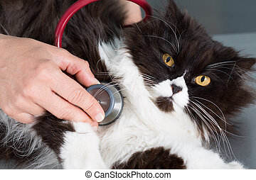 Veterinary by listening to a cat - Auscultation beautiful...
