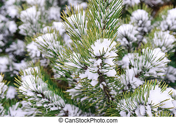 pine tree covered witrh snow