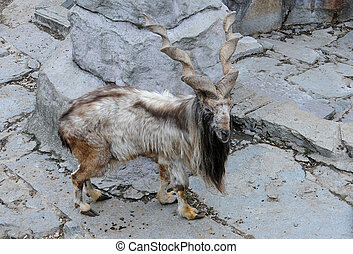 Markhor stands in the captivity at the Zoo