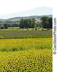 Maremma (Tuscany, Italy) - Field of sunflowers in Maremma...