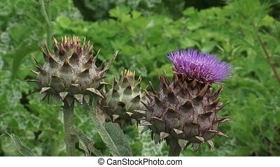 Artichoke thistle buds zoom out - Artichoke thistle buds,...
