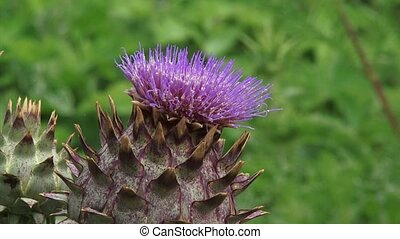 Cynara cardunculus zoom out - Cardoon, Cynara cardunculus in...