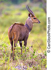 East african bushbuck standing in the bush - East african...