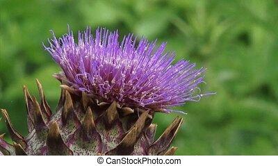 cardoon in bloom - close up - Cardoon, Cynara cardunculus in...