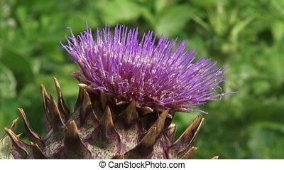 Cardoon, Cynara cardunculus in bloom - close up, Cardoon...