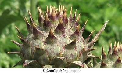 Cardoon, Cynara cardunculus - close up spiny bud Cardoon...