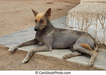 peruano, sin pelo, perro,