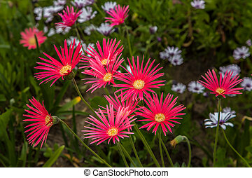 Grouping of Red African Daisies