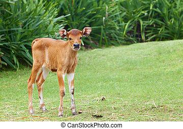 Little calf grazing on the green grass - Funny newborn baby...