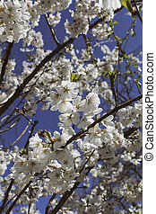 Cherry blossoms against blue sky - Cherry blossoms against a...