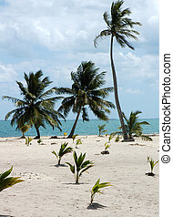 Tropic palms on a sandy beach. Caribbean sea. Belize -...