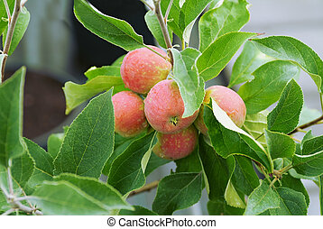 apple trees - Fruiting apple trees on the farm agronomic