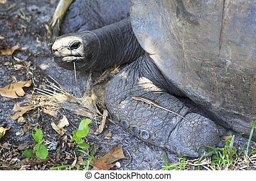 Lizard crawled on foot Aldabra giant tortoise Seychelles