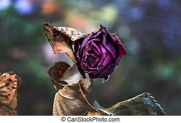 withered flowers. death, end of life, death, forgetting and...