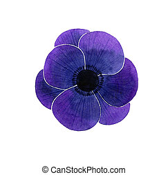 Anemone flower - Watercolor Anemone on a white background
