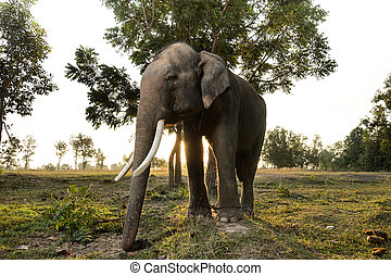 Asian elephant in field at sunrise in Thailand.