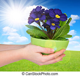 Hand holding Primrose in pot Spring season