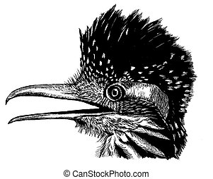 Greater Roadrunner Geococcyx californianus Scratchboard...