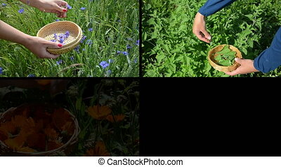 herbal plants collage - Hands gather blue cornflower, green...
