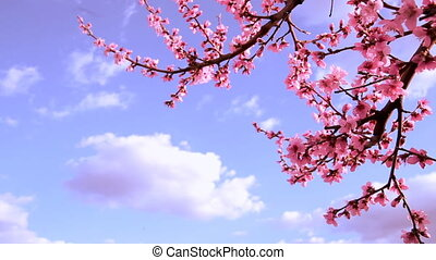 Blooming trees. - Blooming trees over blue sky on a sunny...