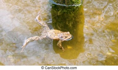 Common Toad Bufo Bufo in a Pond