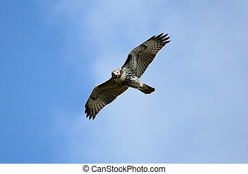 Red-tailed Hawk buteo jamaicensis flying against a blue sky...