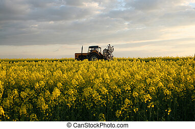 view of flowering field of rapeseed.Plant for green energy...