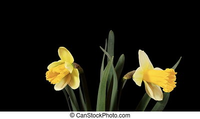 Yellow narcissus blossom buds ALPHA matte, FULL HD...