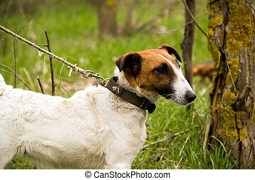 fox terrier - Smooth Fox Terrier nice on a leash
