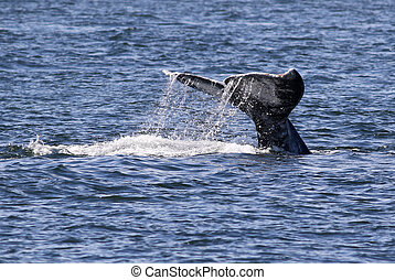 Gray Whale Fluke with Water Trailing