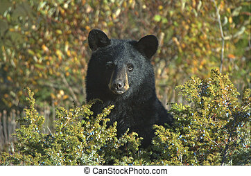 Black Bear Ursus Americanus - Berries located on the bush in...