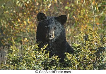 czarnoskóry, Niedźwiedź, (Ursus, Americanus)