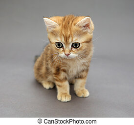Little British red kitten with big eyes - Little British...