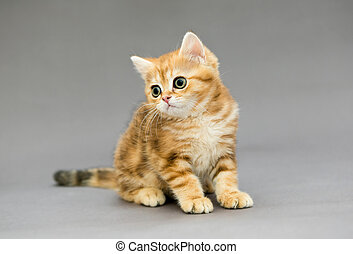 Little British tabby kitten with big eyes - Little British...