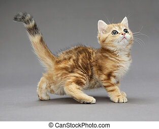 Little British red kitten with big eyes - Little British...