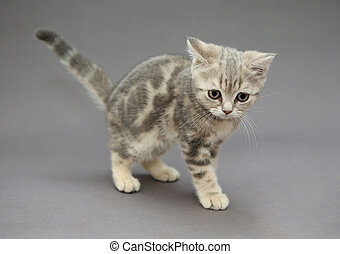 Little British kitten marble color with big eyes on a gray...