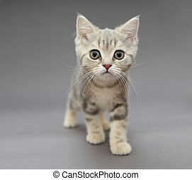 Little British gray kitten with big eyes - Little British...